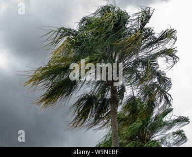 Palm trees blowing in the winds of a thunder storm. - Stock Photo