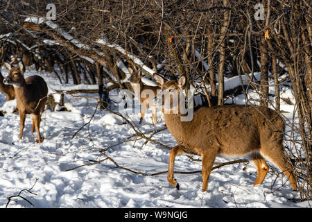 Cute young fluffy deer walks in the snowy forest and looking for a food , Schiller Park IL USA - Stock Photo