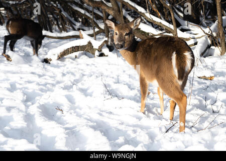 Cute young fluffy deer walks in the snowy forest and looking straight in camera , Schiller Park IL - Stock Photo