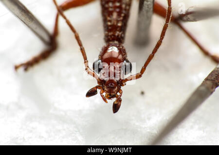 Pinned insect, macro of a preserved beetle for entomology lab taxonomy (Coleoptera, Carabidae), shows the insect head in detail - Stock Photo