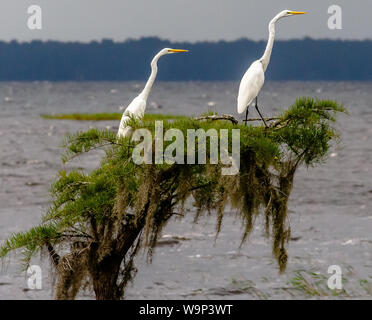 Vantage Point - Two great egrets perched on a lone cypress tree in Lake Waccamaw, NC during an overcast afternoon. - Stock Photo