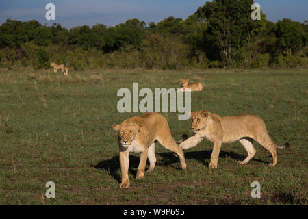 two young lions playing - Stock Photo