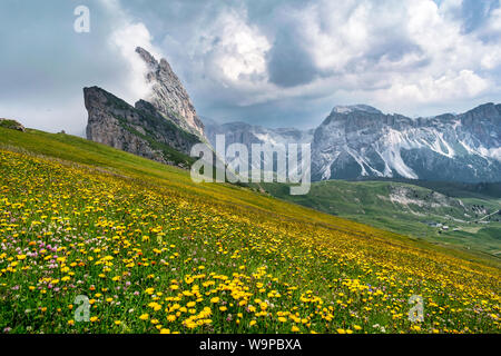 Wild flowers growing on the side of Seceda mountain in the Italian Dolimites of the Alps