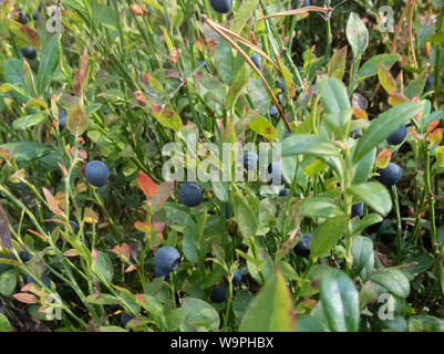 Finnish blueberry berries harvest time,Bothnian Bay, North Ostrobothnia, Hailuoto island, Finland - Stock Photo
