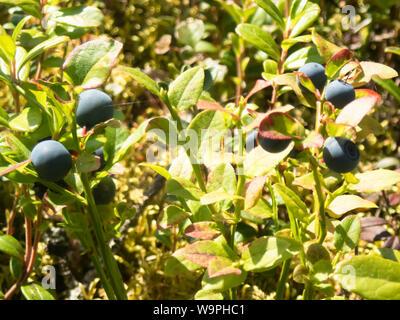 Finnish blueberry berries harvest time,Bothnian Bay, North Ostrobothnia, Hailuoto island, Finland - Stock Photo