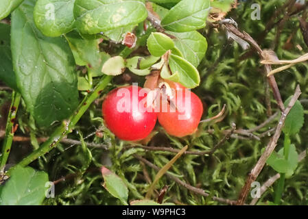Finnish lingonberry berries harvest time,Bothnian Bay, North Ostrobothnia, Hailuoto island, Finland - Stock Photo