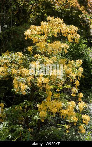 Yellow Rhododendron ( luteum azalea ) a deciduous shrub in flower / bloom. AKA yellow azalea , sweet pontica azalea. - Stock Photo