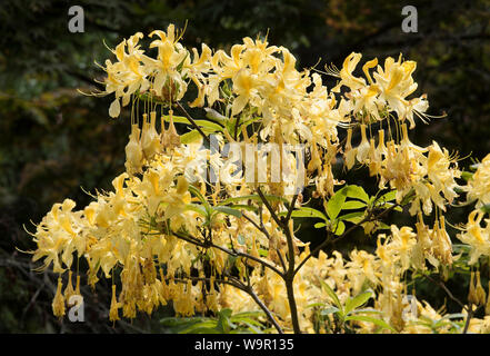 Yellow Rhododendron ( luteum azalea ) a deciduous shrub in flower / bloom. AKA yellow azalea , sweet pontica azalea. - Stock Photo