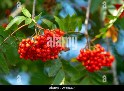 Small red berries from a Mountain Ash tree (Sorbus aucuparia or Rowan Tree) in early Autumn in the UK.