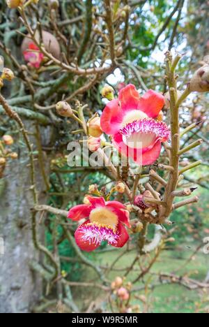 couroupita guianensis tree,cannonball tree which is said to be a tree under which the buddha meditated, rio de janeiro, brazil - Stock Photo