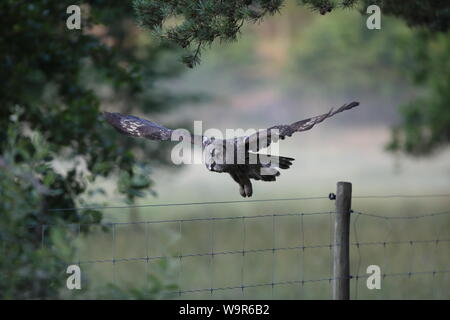 Great grey owl (Strix nebulosa) - Stock Photo