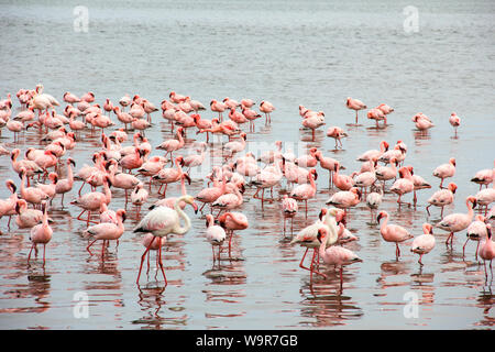 Lesser Flamingo, Greater Flamingo, Walvis Bay, Namibia, Africa, (Phoeniconaias minor), (Phoenicopterus roseus) - Stock Photo