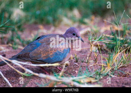 Laughing Dove, Namibia, Africa, (Spilopelia senegalensis) - Stock Photo