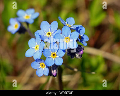 blue flowers in the tundra. blue flowers in the tundra - Stock Photo