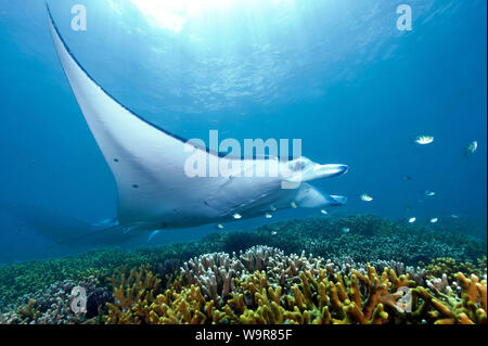 mantaray, reef manta, huge ray, (Manta alfredi) - Stock Photo
