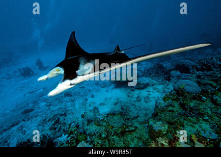 mantaray passing diver, reef manta, huge ray, (Manta alfredi) - Stock Photo