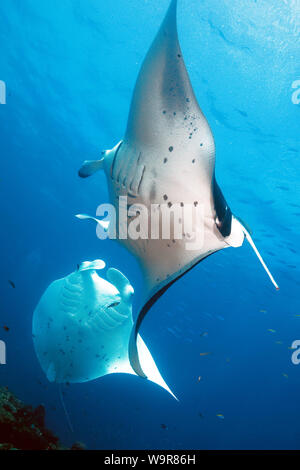 mantaray, reef manta, huge ray, mating behaviour, (Manta alfredi) - Stock Photo