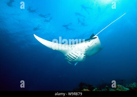 mantaray, ray, snorkelers on surface, Maldives, Indian Ocean, (Manta birostris) - Stock Photo