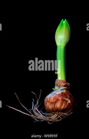 Amaryllis hippeastrum, Nymph, Ritterstern, austreibende Zwiebel, austreibende Knolle - Stock Photo