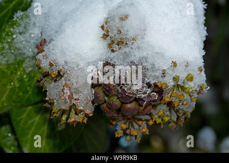 common ivy, (Hedera helix) - Stock Photo