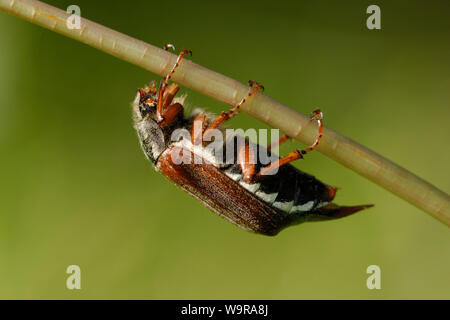 Common cockchafer on Dandelion stalk, Melolontha melolontha - Stock Photo