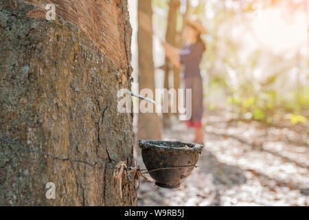 close up of cup rubber with asian women tapping rubber tree background - Stock Photo