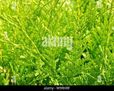 Natural green texture of Thuja evergreen tree on sunny day. Summer green background. Thuja branches close up. - Stock Photo