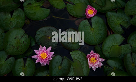 Waterlilies in a Pond found in the Botanical Gardens in Bonn Germany - Stock Photo