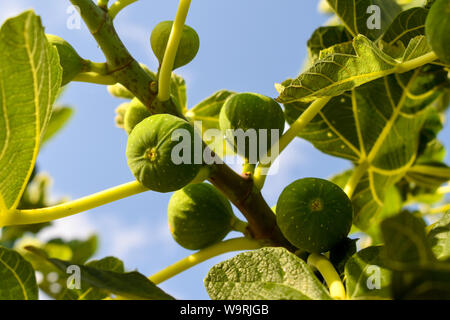 Green figs on the tree. - Stock Photo