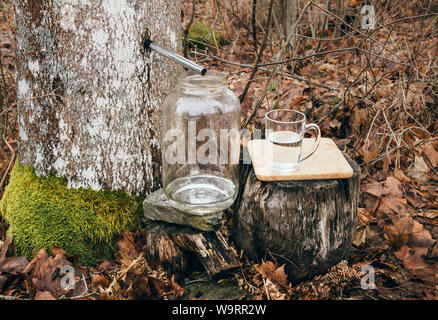Gathering maple tree juice sap in spring outdoors. Maple trees are tapped by drilling holes into their trunks and collecting the exuded sap. - Stock Photo