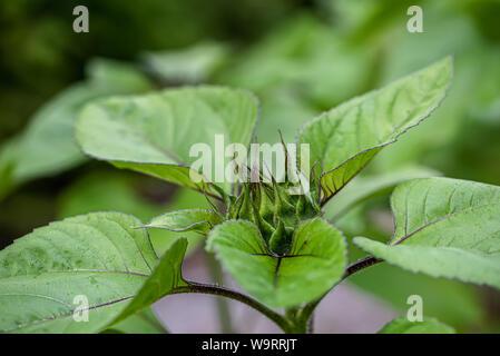 A macro shot of a sunflower green solar flash flower bud - Stock Photo