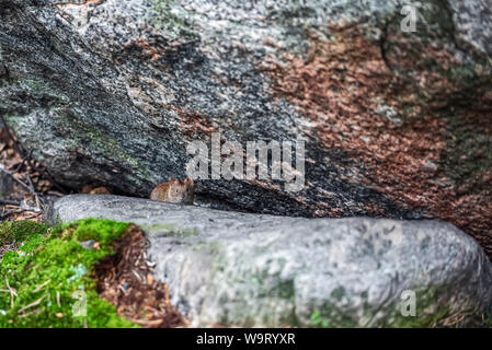 Arctic animals lemming (lemmus) hiding among rocks in mountain tundra in North of Scandinavia or Kola Peninsula. - Stock Photo