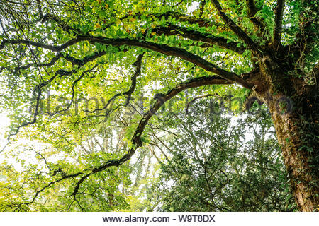 The top of a tree seen from below, with green leaves, some brown branches spreading from right to left. - Stock Photo