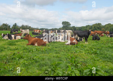 herd of cows lying down in a field - Stock Photo