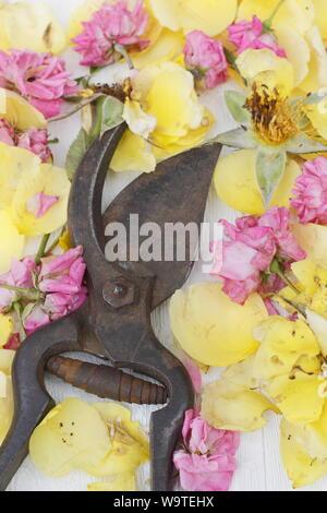 Rosa. Rose deadheads on textured white background in summer. UK - Stock Photo