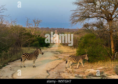 Zebras are crossing a path in the Kruger nature reserve on a safari in Africa during our honeymoon in October 2017 - Stock Photo