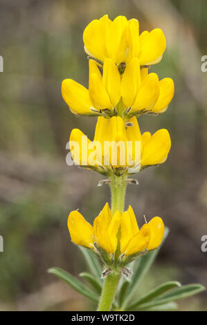 Lupinus luteus annual yellow-lupine European yellow lupine wild lupine with beautiful intense yellow flowers greenish brown background out of focus na - Stock Photo