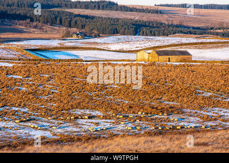 Sheep graze amongst winter snow on rough grassland near Once Brewed in Northumberland, with a traditional barn and farmhouse behind. - Stock Photo