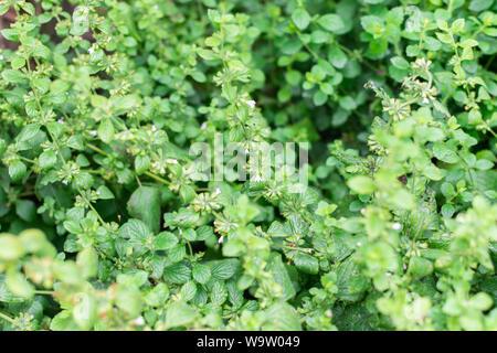 Lemon balm or Mentha, balm mint bush with flowers, aromatic perennial herbs - Stock Photo