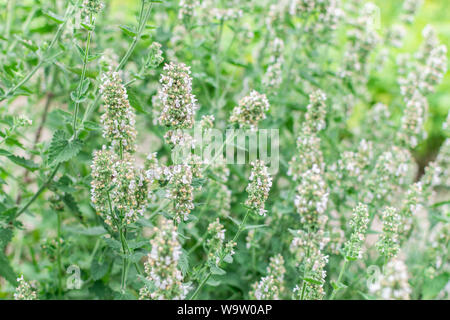 Mentha, mint bush with flowers, aromatic perennial herbs - Stock Photo