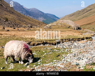A Herdwick sheep grazes on pasture in the gatesgarthdale valley near Buttermere under the mountains of England's Lake District National Park. - Stock Photo