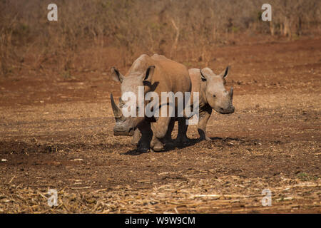 A pair of white rhinoceros Ceratotherium simum or square lipped rhinoceros on the Zimanga private game reserve in South Africa - Stock Photo