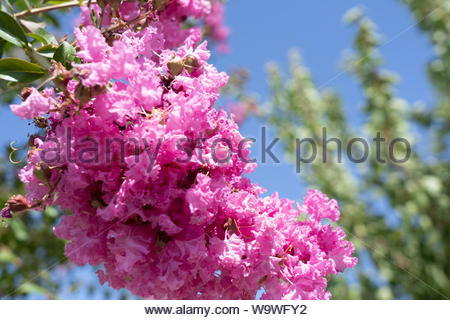 a close-up of the flowers of a crapemyrtle tree with a blue sky - Stock Photo