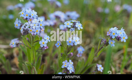 Myosotis alpestris or alpine forget me not is a herbaceous perennial plant in the flowering plant family Boraginaceae. Myosotis arvensis blue flowers. - Stock Photo