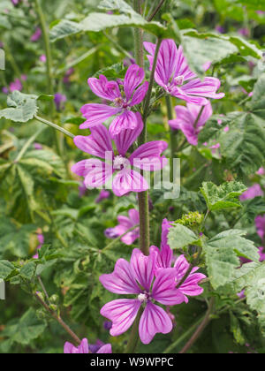 Malva Sylvestris Zebrina or Zebra Hollyhock is vigorous plant with showy flowers of bright mauve-purple with dark veins. M.Sylvestris family Malvaceae - Stock Photo