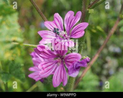 Pink flower close up. High, Tall Mallow Herbaceous biennial plant. Flowers large, showy, purple with dark venation. Malva Sylvestris, family Malvaceae - Stock Photo