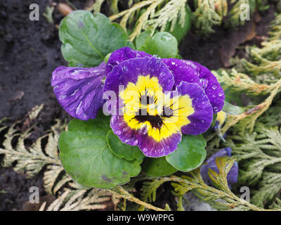Close up beautiful yellow and violet, purple pansies flower wet blossom with water droplets on petals. Edible Viola tricolor Pansy blooming in nature. - Stock Photo