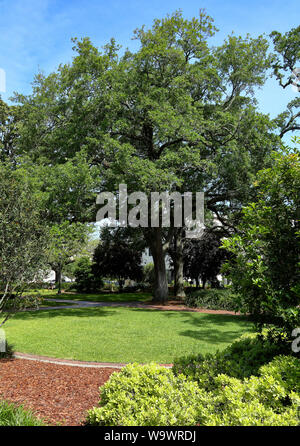 Large live oak tree in a park in Savannah, Georgia - Stock Photo