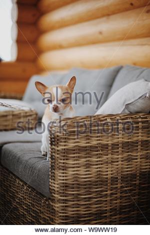short-coated white and tan puppy - Stock Photo