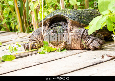 A common snapping turtle waits on the side of a boardwalk for human beings to either get too close, or move far enough away. Its long claws and weathe - Stock Photo